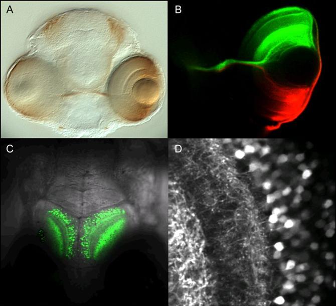 Zebrafish visual system